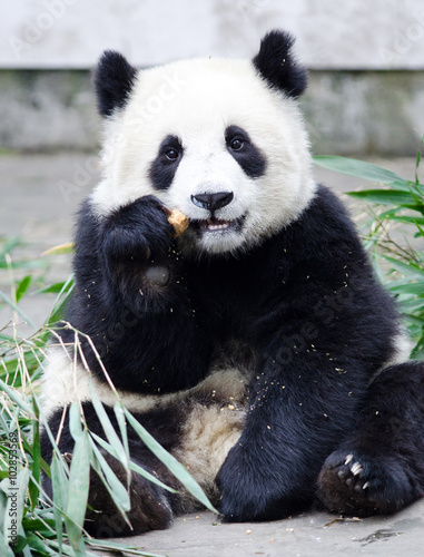 Stickers pour porte Panda Giant Panda Cub Eating Bamboo, sitting pose, Chengdu, China