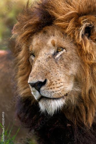 Fotografía  Portrait of legendary Lion Notch in Masai Mara, Kenya