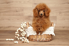 Red Toy Poodle Puppy In Basket