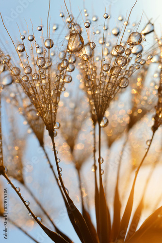 Obraz Dewy dandelion flower at sunrise close up - fototapety do salonu