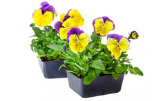 Pansy Bedding Plants Isolated On White