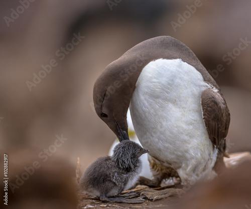 Common guillemot nursing chick