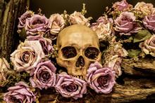 Still Life Human Skull With Ro...