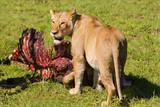 Lwica w Parku Serengeti