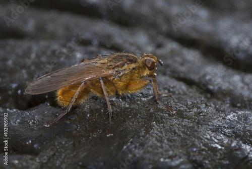 Photo  Scathophaga stercoraria, mosca amarilla del estiércol