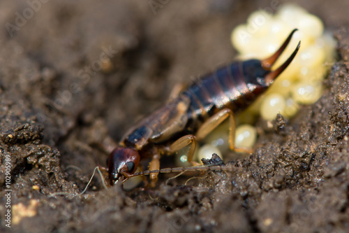 Vászonkép Common earwig (Forficula auricularia) with eggs