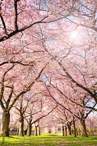 Tableau sur Toile Farbe des Frühlings: Garten mit Japanischen Kirschblüten :)