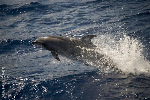 Fotografia  Grand dauphin, tursiops aduncus, Tristan da Cunha, Territoire britannique