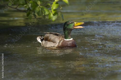Fotografie, Obraz  Mallard male, quacking on a pond