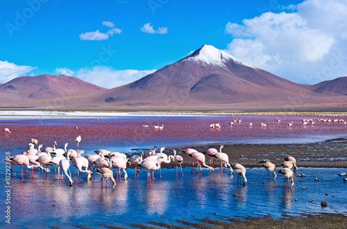 Fotografering  Flamingoes in Laguna Colorada ,  Bolivia