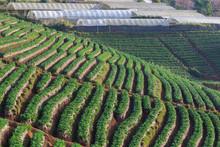 Strawberry Plantation Organic ...