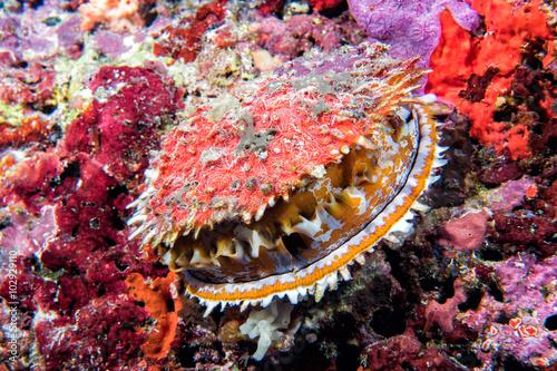 giant clam underwater in maldives Fototapet