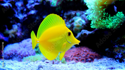 plakat Yellow Tang (Zebrasoma flavescens)
