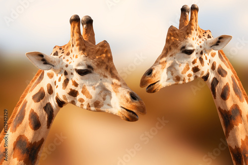 Photo  Portrait of giraffes on the brown background
