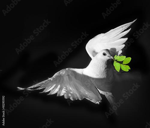 a white pigeon