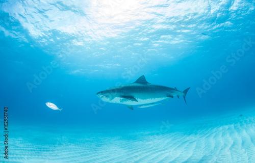 Keuken foto achterwand Turkoois Tiger shark