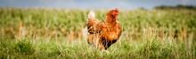 Braunes Huhn Auf Einem Biohof ...