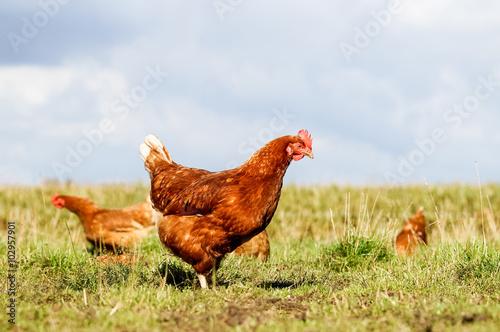 Leinwand Poster Geflügelhof - Hühner scharren on a Wiede nach Würmern