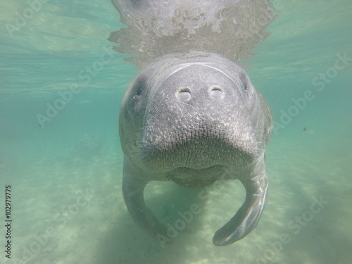 Snorkeling with a manatee Canvas Print