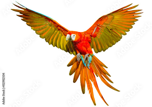 Vászonkép Parrot flying hand draw and paint on white background vector illustration