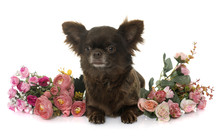 Adult Brown Chihuahua And Flowers