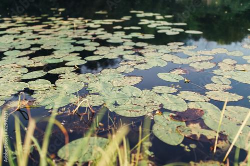 Deurstickers Waterlelies Water lilies in swamp