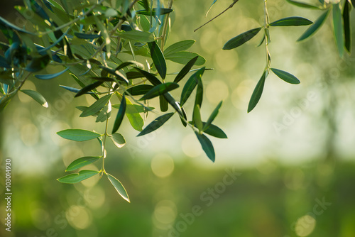 Tuinposter Olijfboom Olive tree with leaves, natural agricultural food background