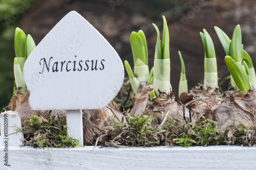Photo sur Aluminium Narcisse narcissus