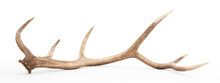 Large Antler Isolated On White...