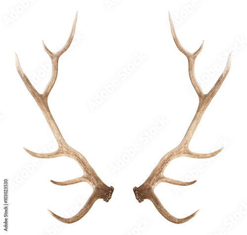 Leinwand Poster Large antler isolated on white background