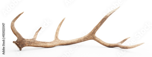 Fotografie, Obraz  Large antler isolated on white background