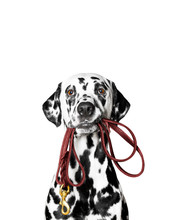 Dalmatian Is Holding The Leash In Its Mouth