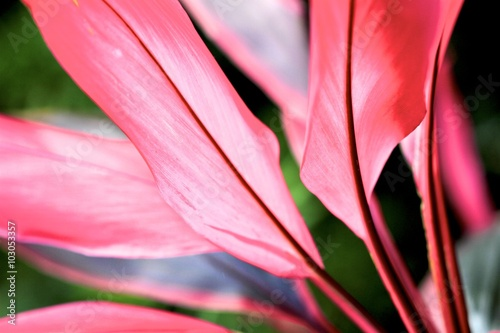 Photo Stands Candy pink Cordyline fruticosa Apple Blossom
