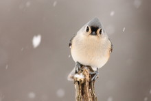 Tufted Titmouse Perched In Win...
