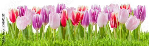 plakat Fresh Tulip Flowers Isolated