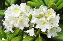 Closeup On A White Rhododendron
