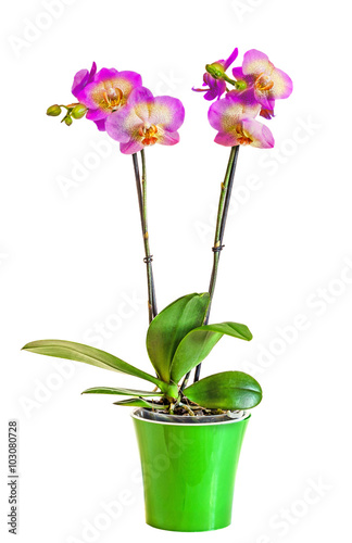 Violet With Yellow Branch Orchid Flowers With Buds Green Leaves