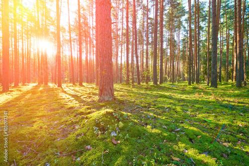 Fototapeten Wald Sunrise in pine forest