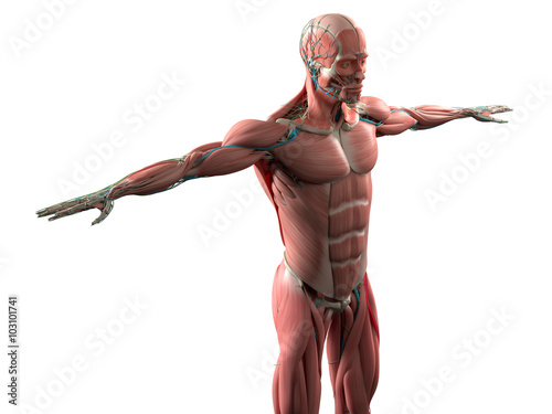 Fotografie, Obraz  Human anatomy showing face, head, shoulders and torso muscular system, bone structure and vascular system
