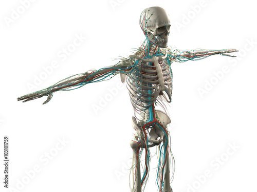 Human Anatomy Side View Of Torso Vascular System And Organs On