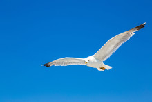 Big Seagull In Sky