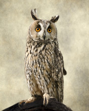 Long Eared Owl, Textures Added To Bring Out The Owl's Beauty.