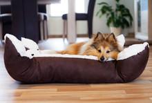 Sheltie Hund Im Körbchen, Dog In Basket
