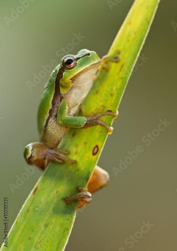 zielona-zaba-na-lisciu-trzciny-hyla-arborea