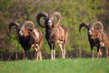 Wild Mouflons
