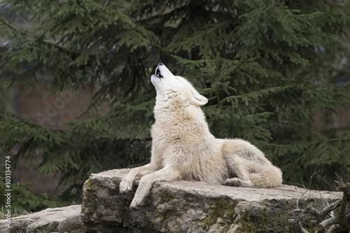 Papiers peints Loup hurlement du loup blanc