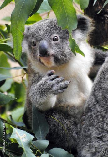 Garden Poster Koala Baby koala