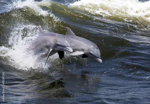 Foto op Aluminium Dolfijn Two Bottlenose Dolphin (Tursiops truncates)