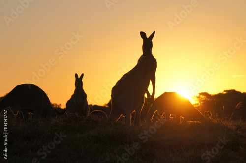 Cadres-photo bureau Kangaroo Kangaroo silhouettes at sunset
