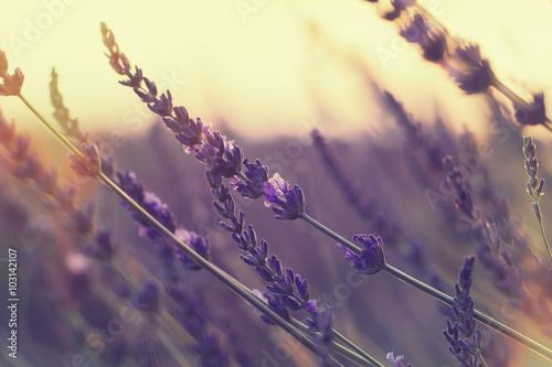 Fotografija  Lavender field at summer sunset